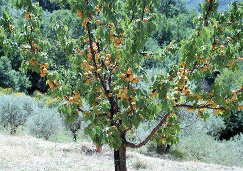Плодоносящий абрикос