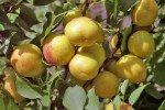 Плоды абрикоса с красной крапинкой