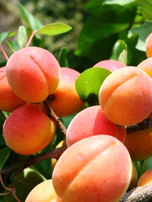 Плоды Краснощёкого абрикоса