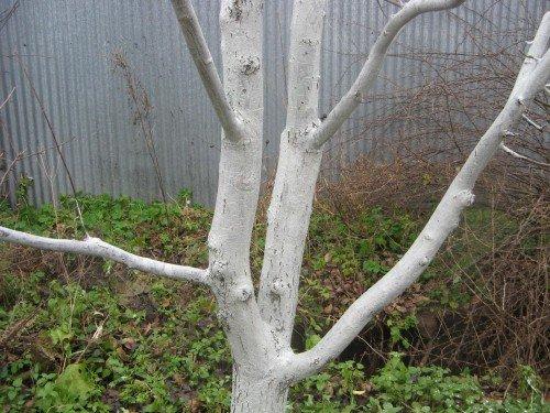 Побеленное дерево абрикоса