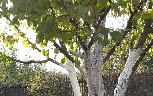 Побелка стволов и ветвей абрикоса