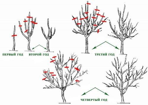 Схема обрезки персика в первые 4 года