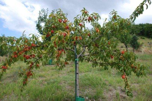 Правильно сформированная крона персика