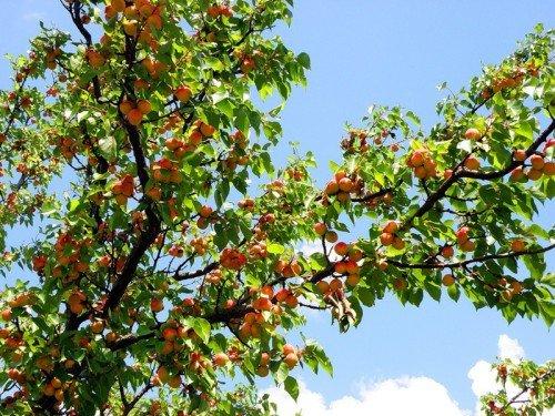 Россыпь плодов на ветвях абрикоса
