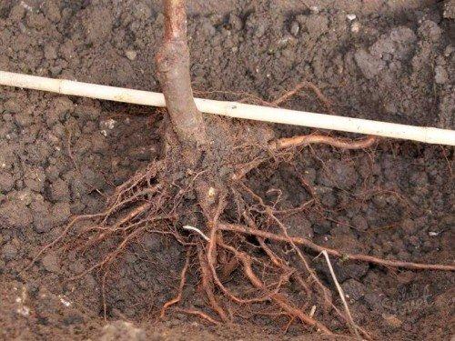 Саженец с открытой корневой системой