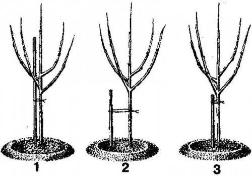 Схема подвязки саженца
