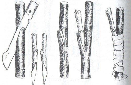 Схема прививки в боковой разрез