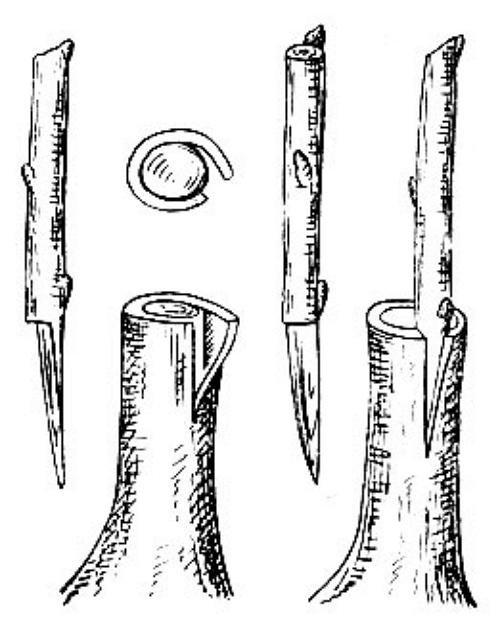 Схема прививки за кору