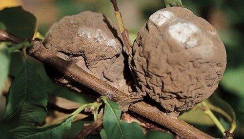 Сморщенные гнилые плоды