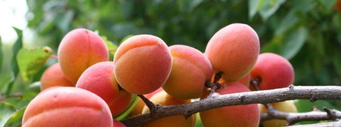сорт Краснощёкий абрикос
