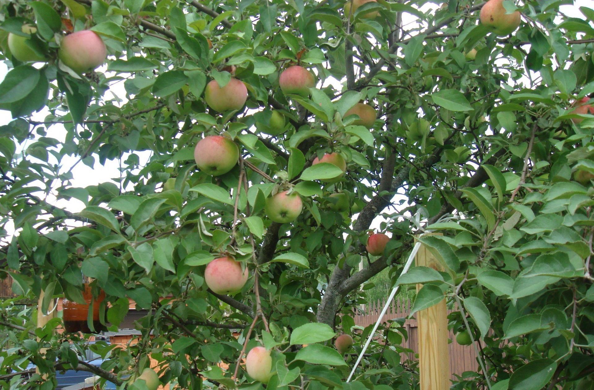 Яблоня Анис: разновидности, описание видов