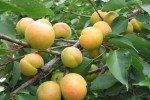 Светло-жёлтые плоды абрикоса