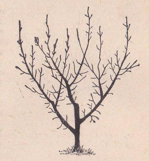 Абрикос обрезка осенью