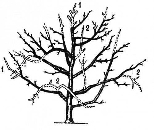 схема формированияплощённой кроны