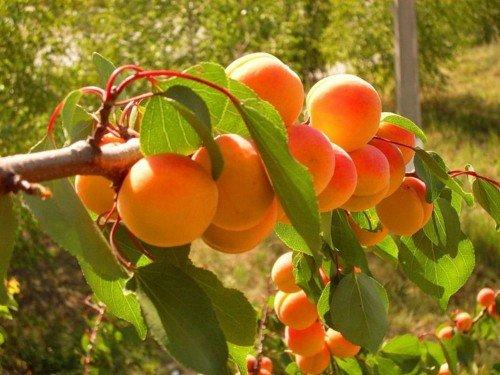Урожай абрикосов на ветке