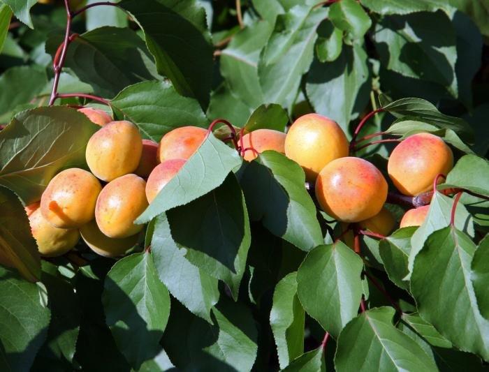 когда лучше пересаживать абрикос осенью или весной