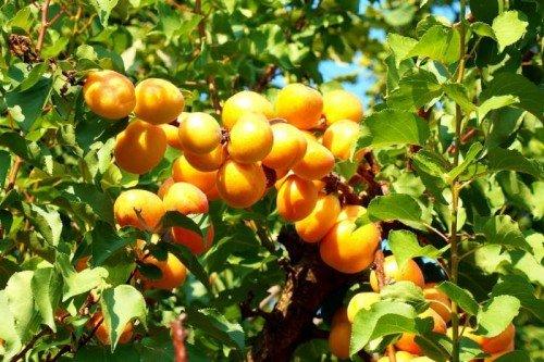 Урожай на абрикосовом дереве