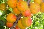 Урожай румяных абрикос