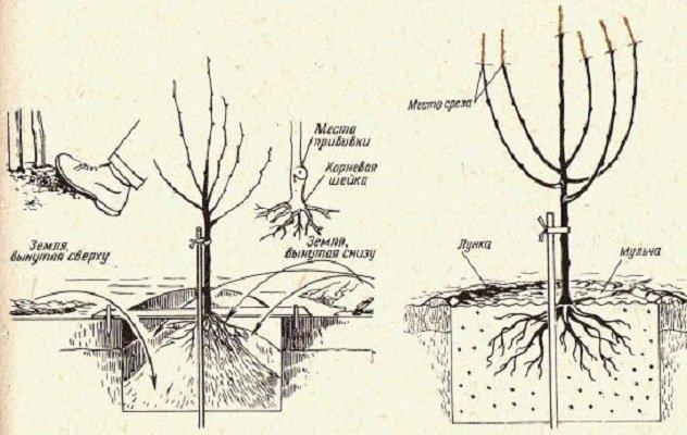 Абрикос посадка и уход в открытом грунте