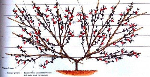 Веерная крона персика