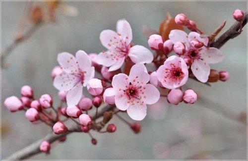 Ветка абрикоса с цветками
