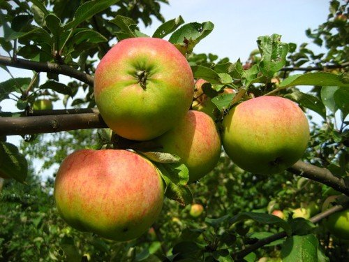 Яблоки Орловим