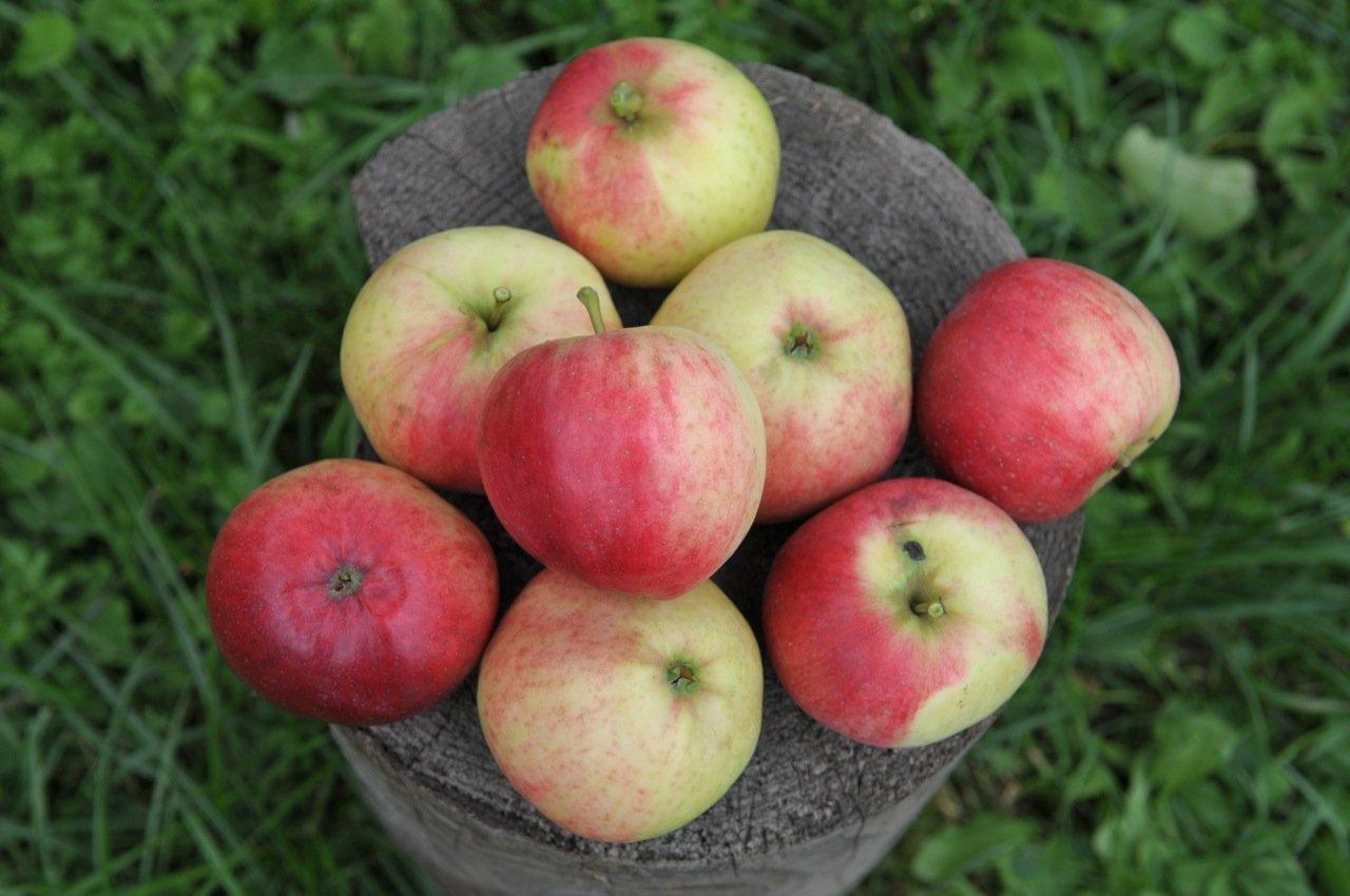 Сорт яблони Орловское полосатое: фото, отзывы, описание, характеристики