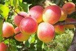 Яркие румяные абрикосы