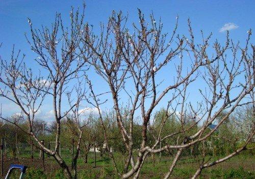 дерево весной