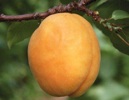 абрикосы на урале посадка и уход сорта