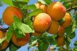 Зреющие абрикосы