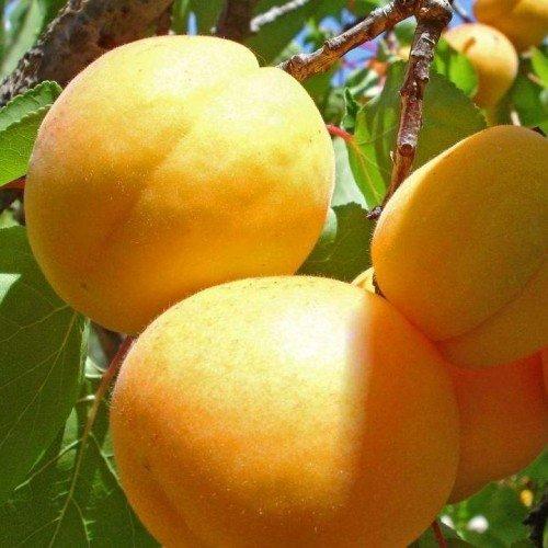 Косточка абрикоса полезные свойства