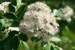 Рябина Гранатная цветёт