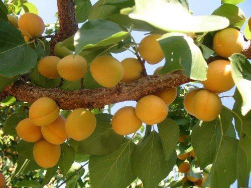 абрикос Цюрупинский