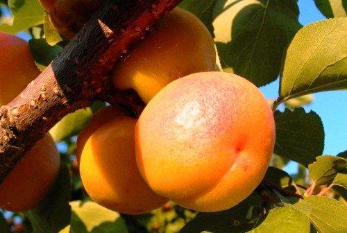 абрикос сорта Шалах