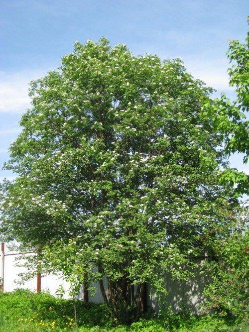 Цветущее дерево рябины