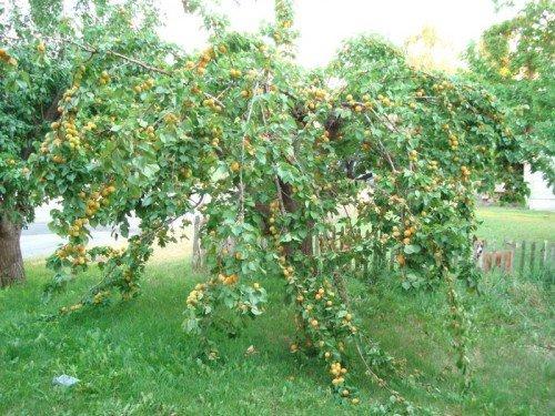 Дерево абрикоса Ананасного