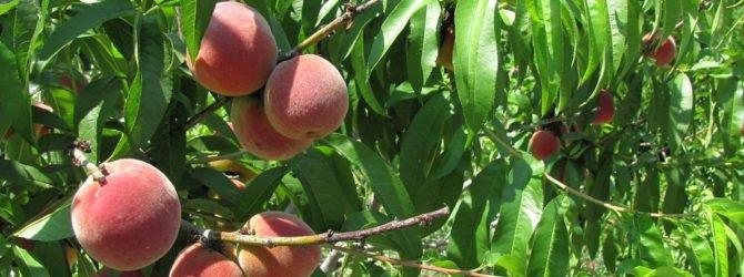 дерево персик