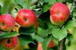 плодоношение Бельфлёр