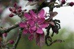цветение Бельфлёр