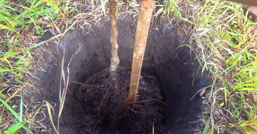 Подготовленная посадочная яма для саженца абрикоса Ананасного