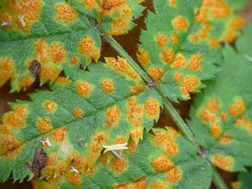 Лист в оранжевых пятнах