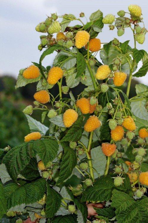 урожай малины сорта Жёлтый гигант