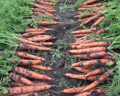 Богатый урожай моркови
