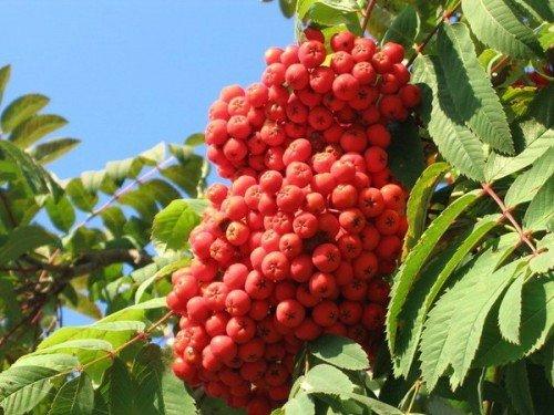 Мощная кисть рябиновых ягод