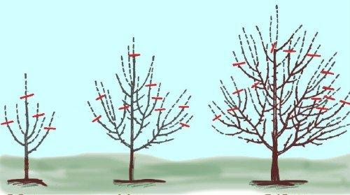 обрезка яблони вразном возрасте