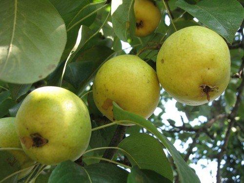 Плоды Лимонки