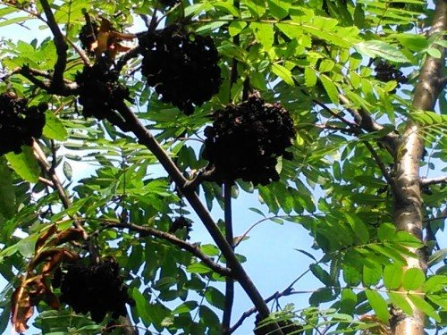 Почерневшие ягоды на рябине