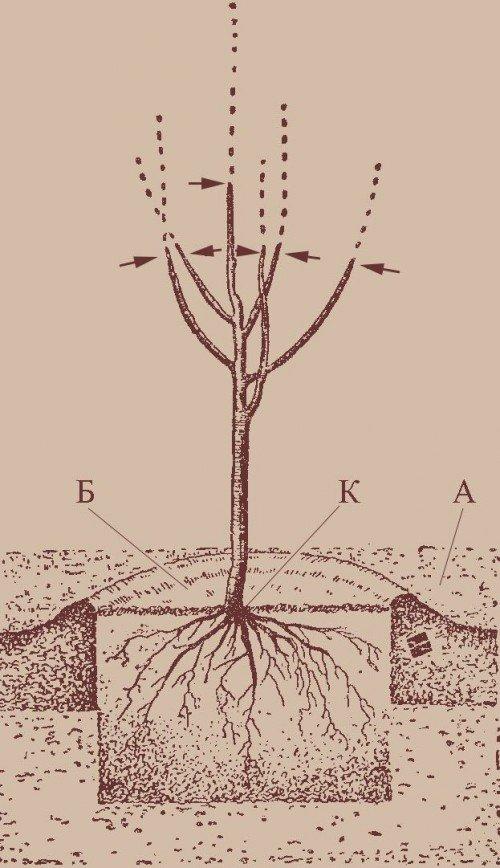посадка абрикоса «на холмик»