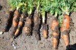 Повреждённые болезнью корнеплоды моркови